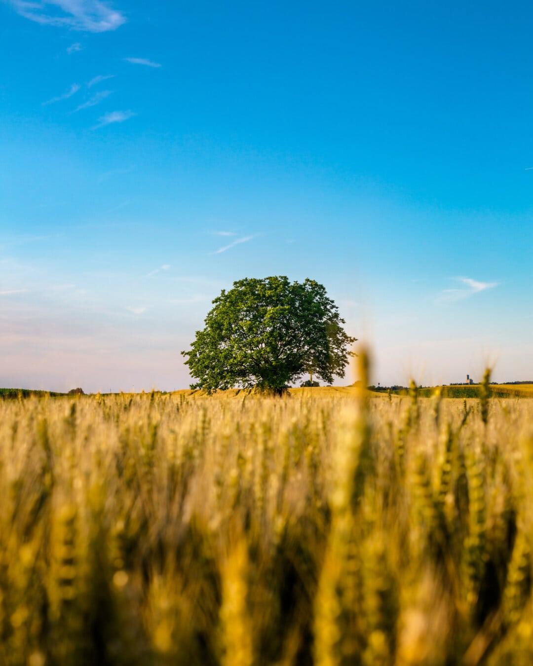 arbre, l'été, champ de blé, majestueux, paysage, paille, lueur dorée, rural, blé, domaine