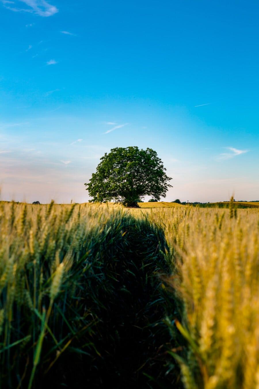 Feld, Landwirtschaft, Struktur, Weizenfeld, Atmosphäre, idyllisch, sonnig, des ländlichen Raums, Gras, Getreide