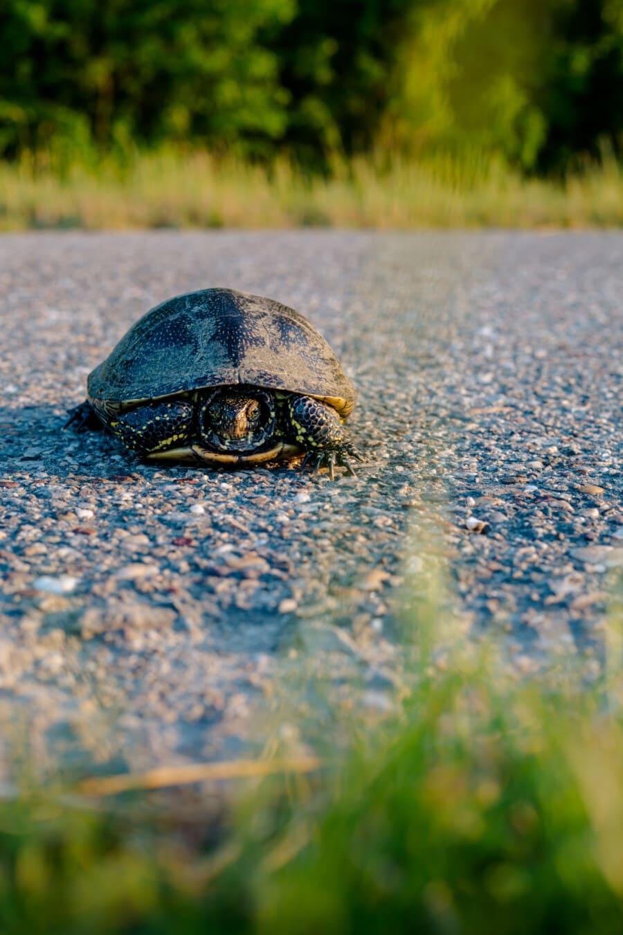 Schildkröte, Kreuzung, Asphalt, Straße, Natur, Reptil, Gras, im freien, Sommer, Schönwetter