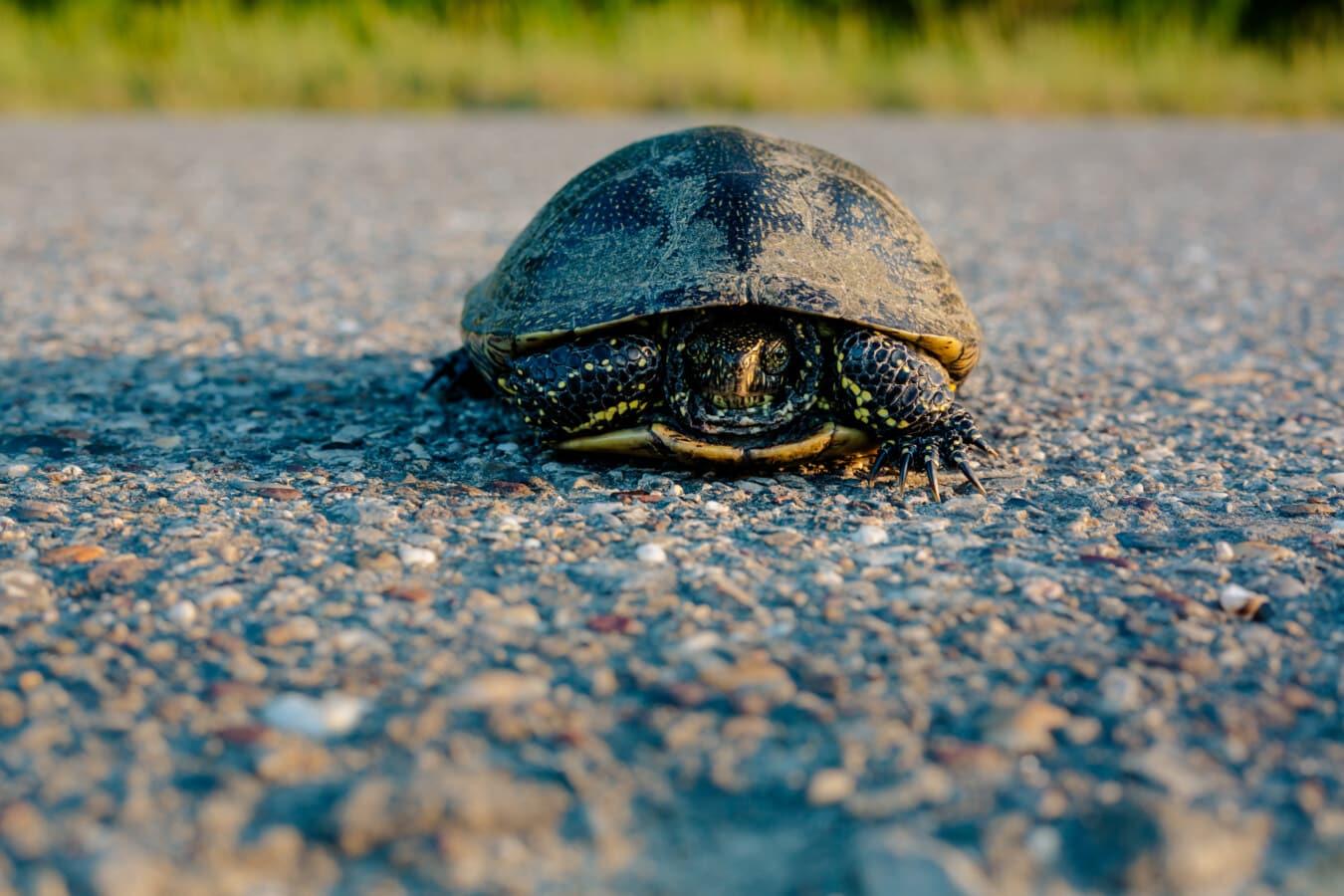 turtle, asphalt, road, invertebrate, animal, shell, reptile, garden, natural, vertebrate