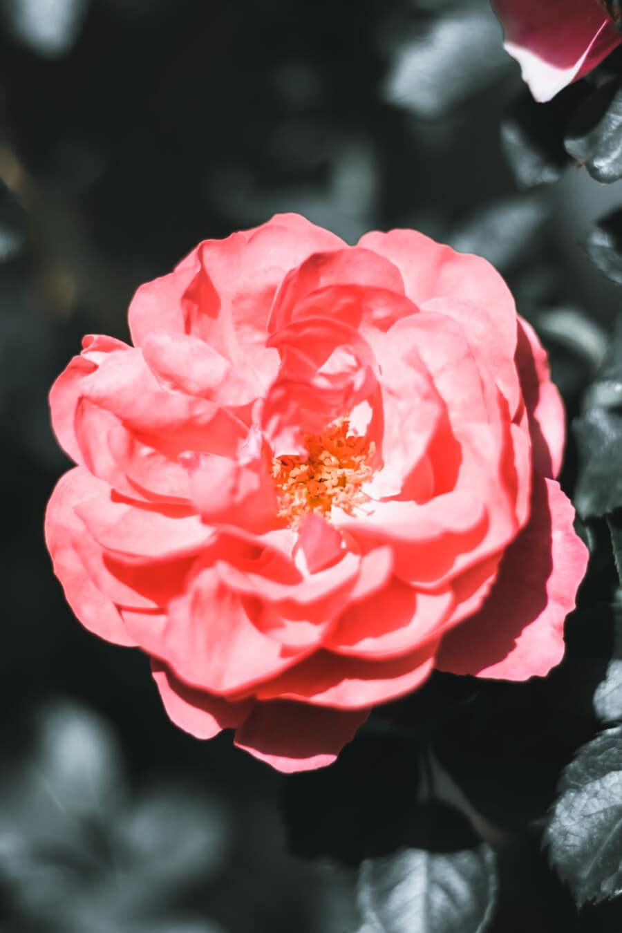 Rose, fleur, rosâtre, arbuste, feuille, nature, rose, jardin, plante, pétale