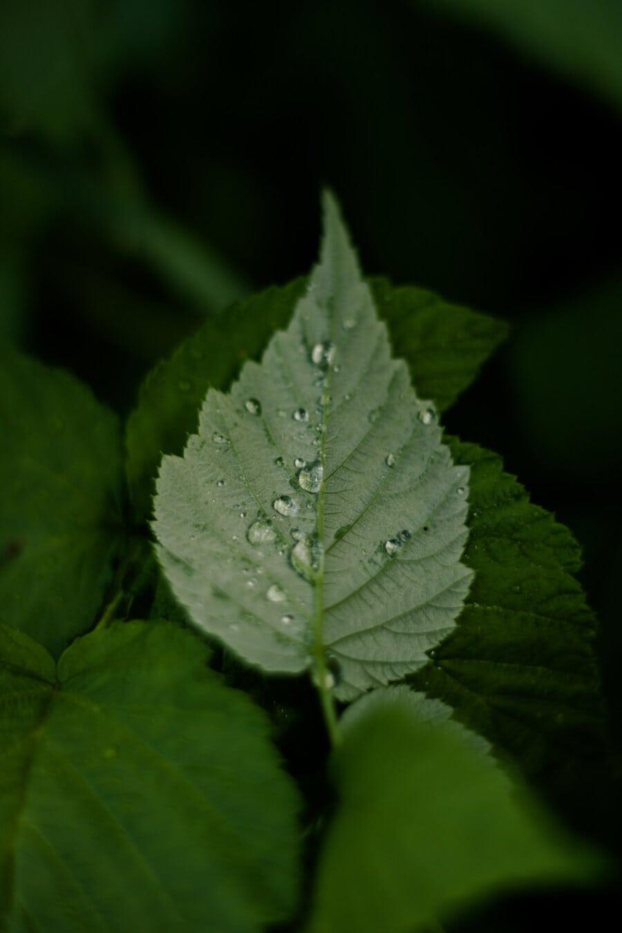 водна капка, зелени листа, влага, чистота, роса, сянка, тъмно зелено, природата, дъжд, растителна