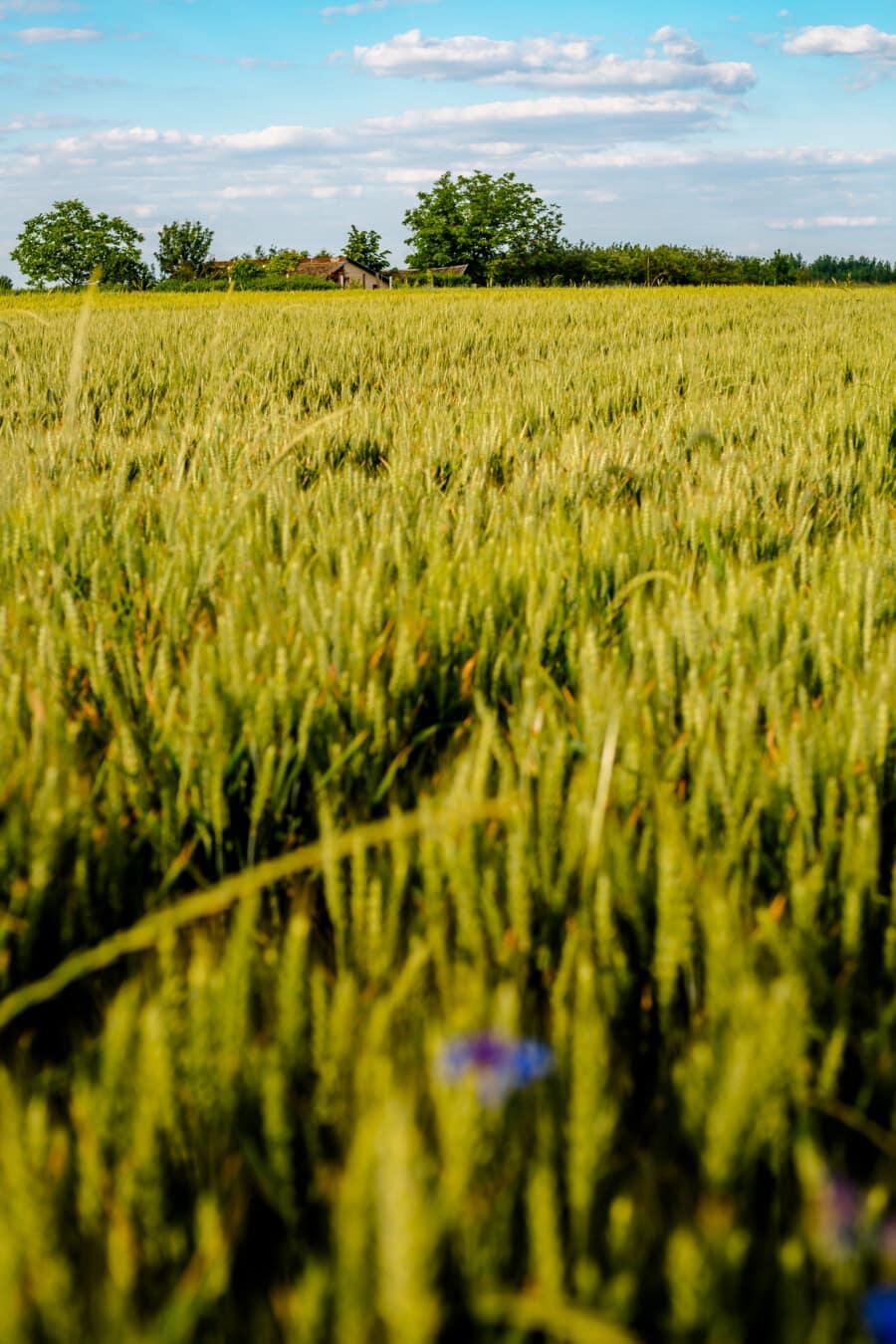 麦畑, ファーム, 草, 穀物, 農村, 夏, ランドス ケープ, 小麦, フィールド, 農業