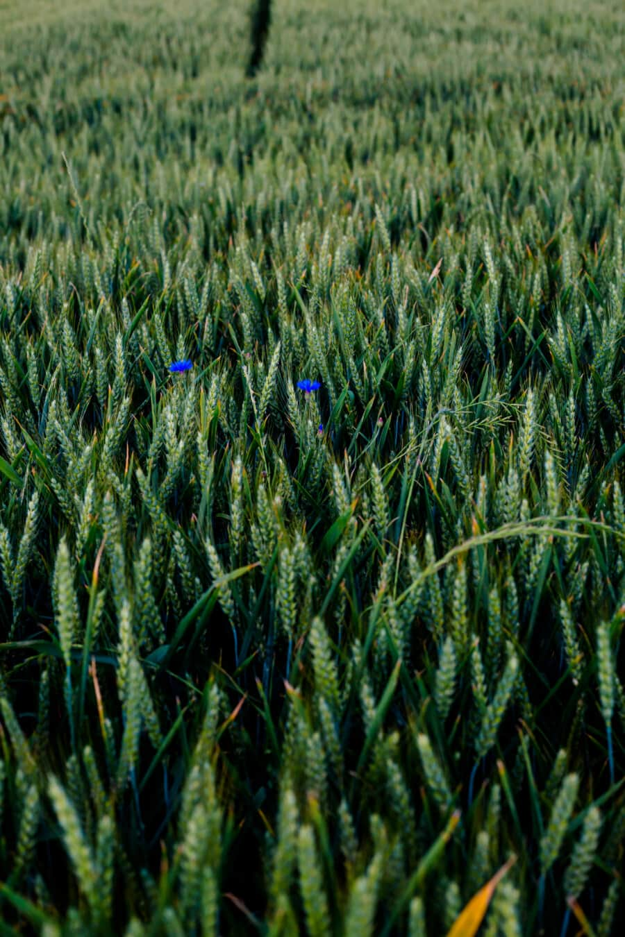 wheatfield, straw, green leaves, field, agriculture, wheat, cereal, crop, outdoors, farm