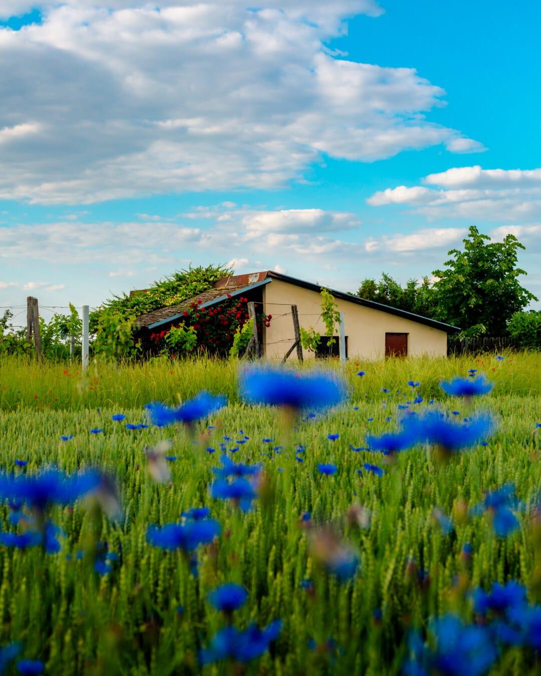 农田, 农舍, 农场, 蓝色, 花, 景观, 性质, 夏天, 草, 植物