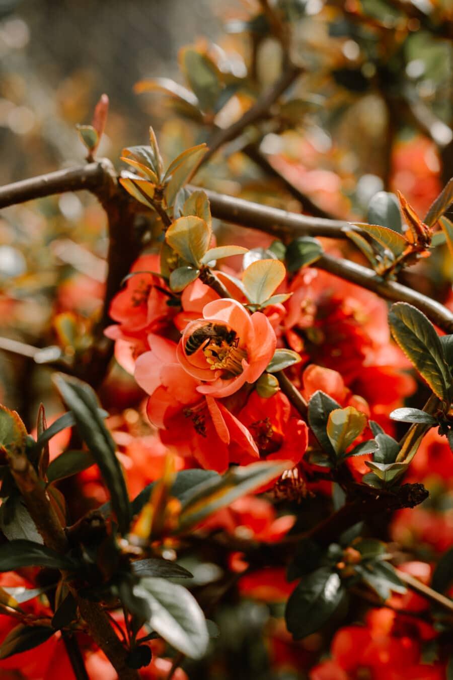 Strauch, Geäst, Blüte, Frühling, Honigbiene, Anlage, Blatt, Natur, Blume, Ast