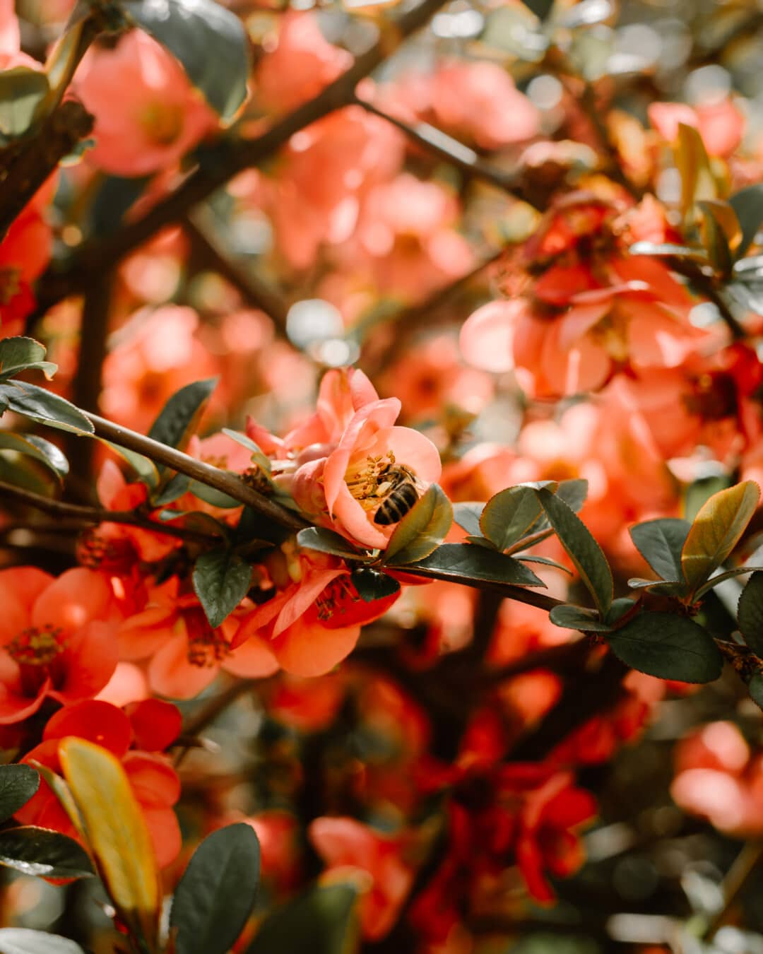 insect, bee, honeybee, pollination, bush, branches, spring time, shrub, branch, leaf