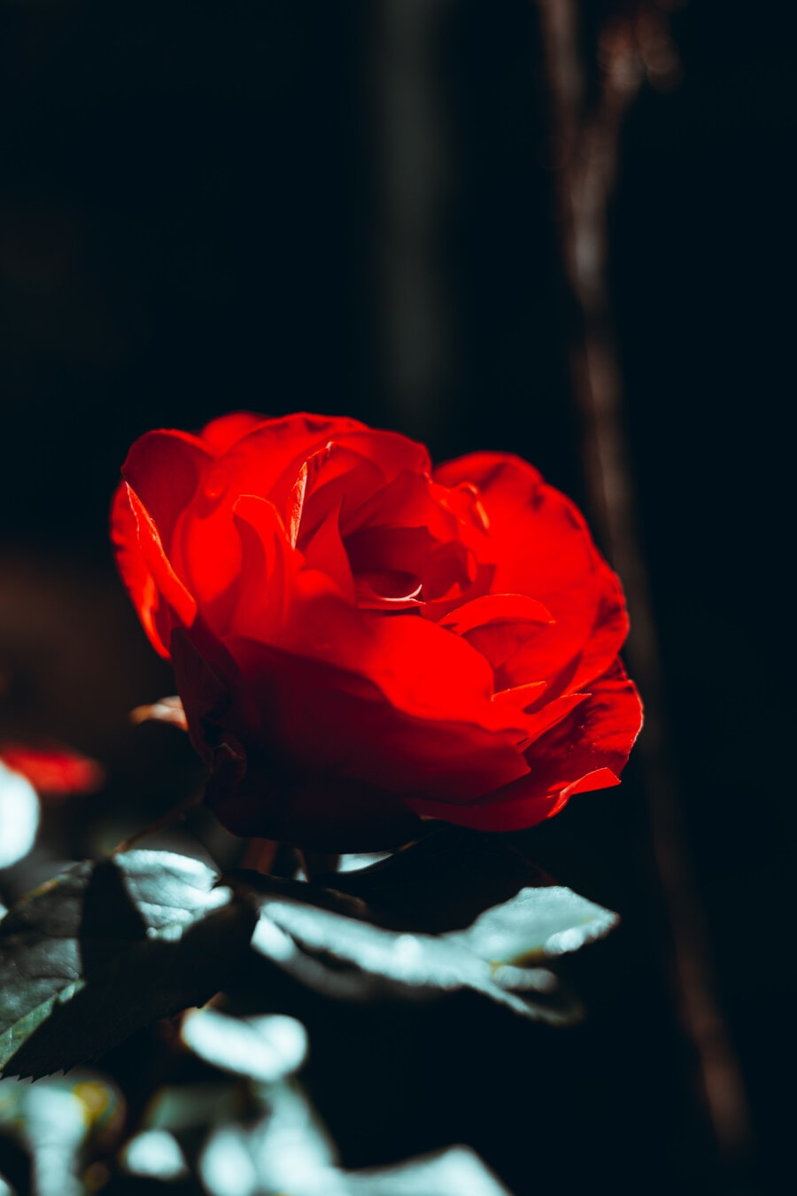 shadow, shrub, branchlet, bud, flower, camellia, petal, plant, rose, nature