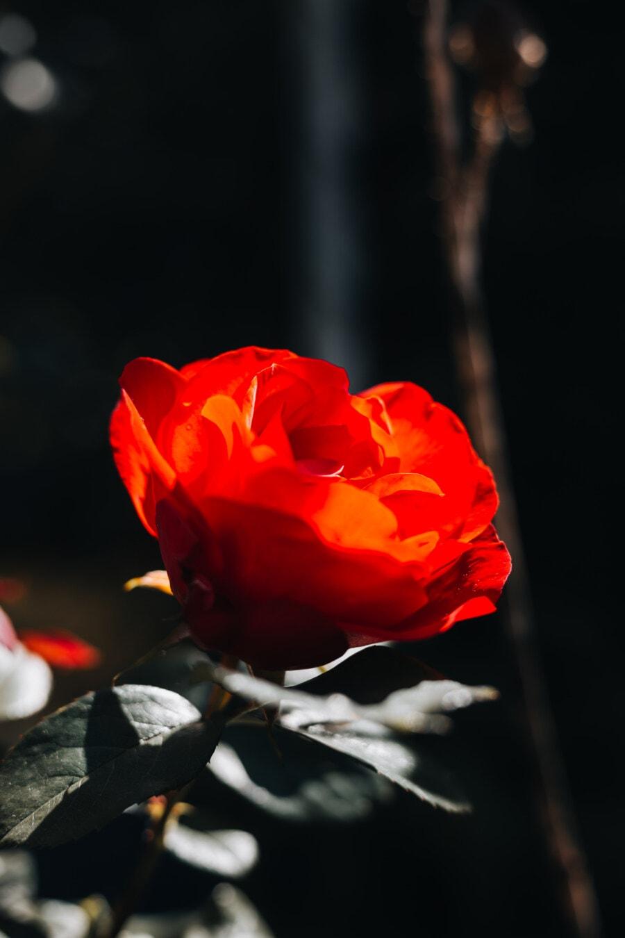 Sonnenlicht, Schatten, stieg, Blume, Blütenblatt, blühen, Blüte, Anlage, Strauch, Garten