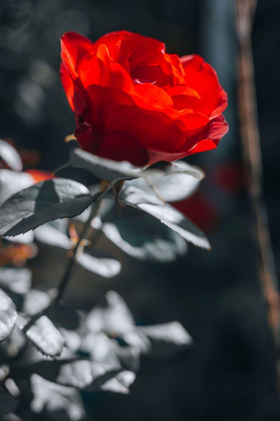 rötlich, stieg, Strauch, Blatt, Natur, Blume, Blütenblatt, Blüte, Knospe, Flora