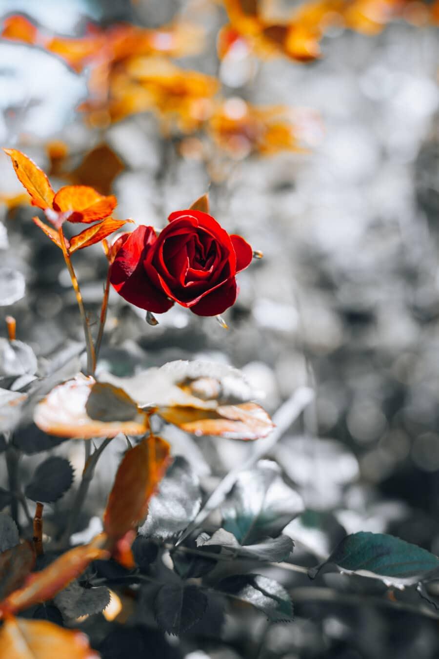 rouge, jaune orangé, des roses, branches, arbuste, horticulture, feuille, nature, fleur, flore