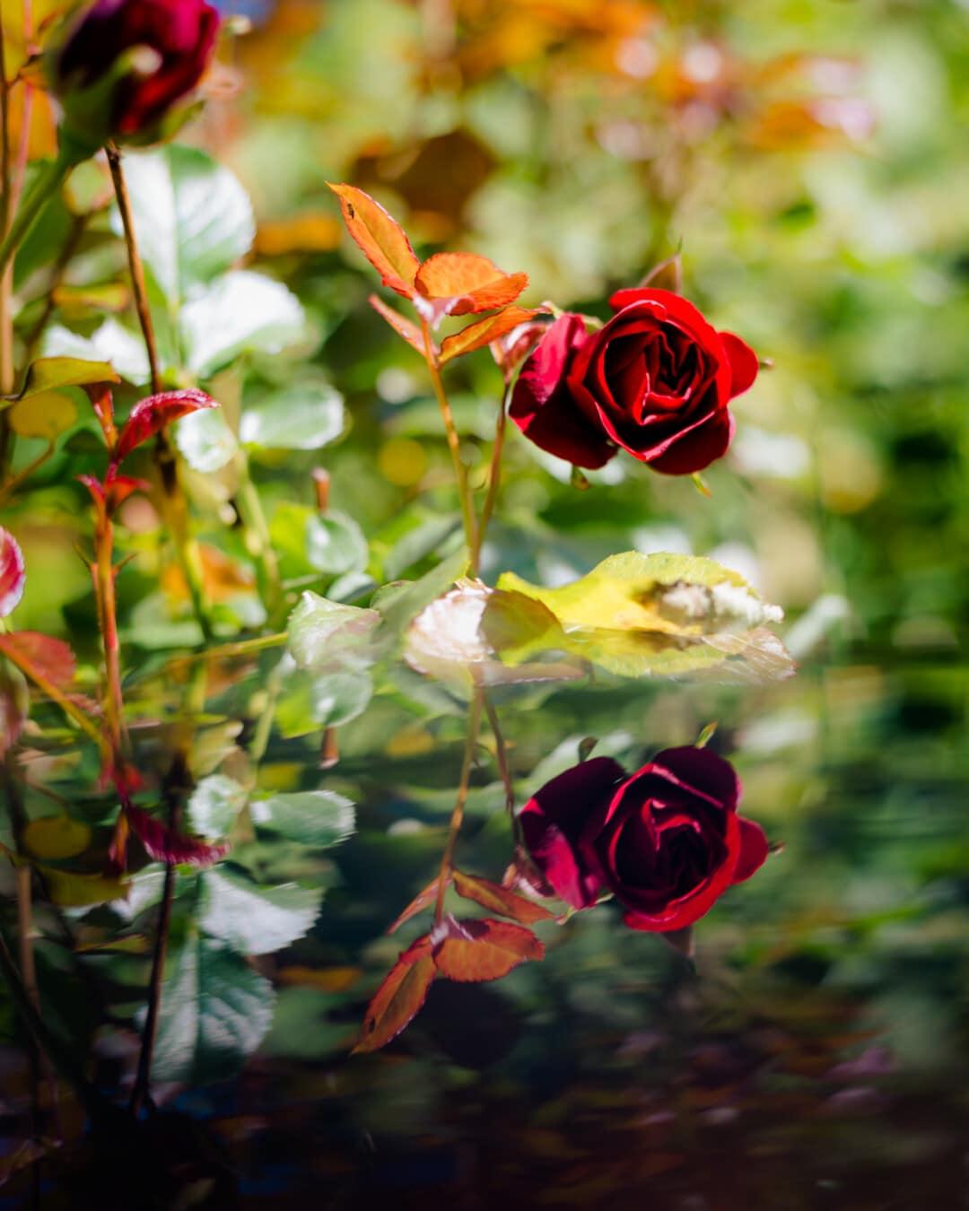 busk, roser, refleksion, blomst, steg, blad, natur, knop, flora, plante