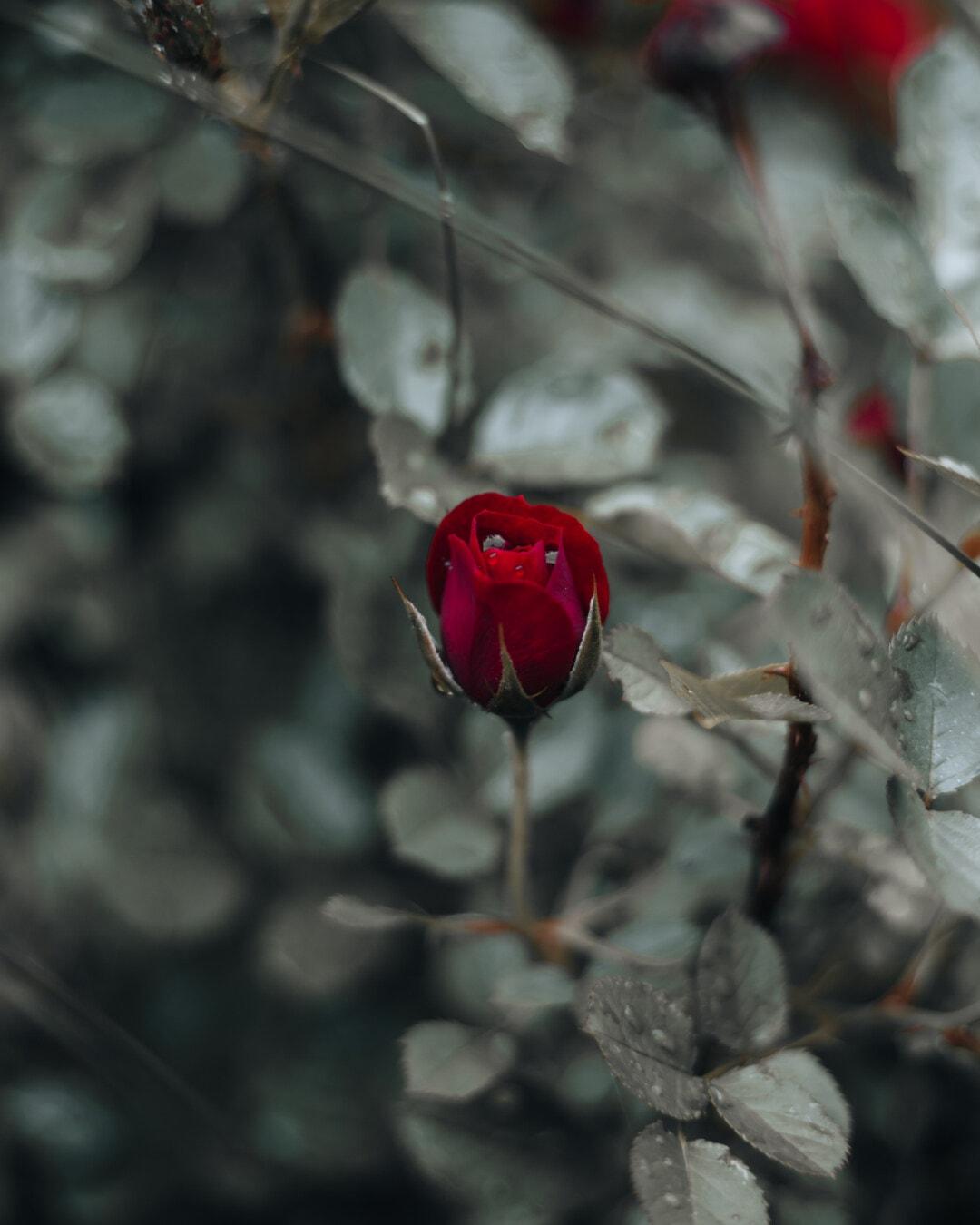 Rose, rosée, humidité, goutte d'eau, goutte de pluie, arbuste, fleur, nature, plante, feuille