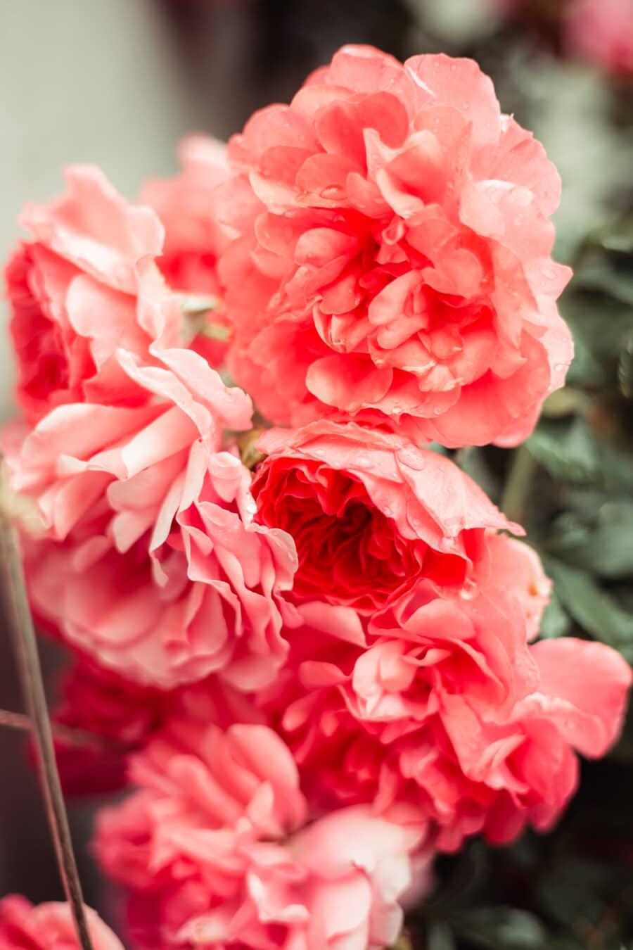 pétales, des roses, rosâtre, rosée, humidité, flore, plante, Rose, nature, fleur