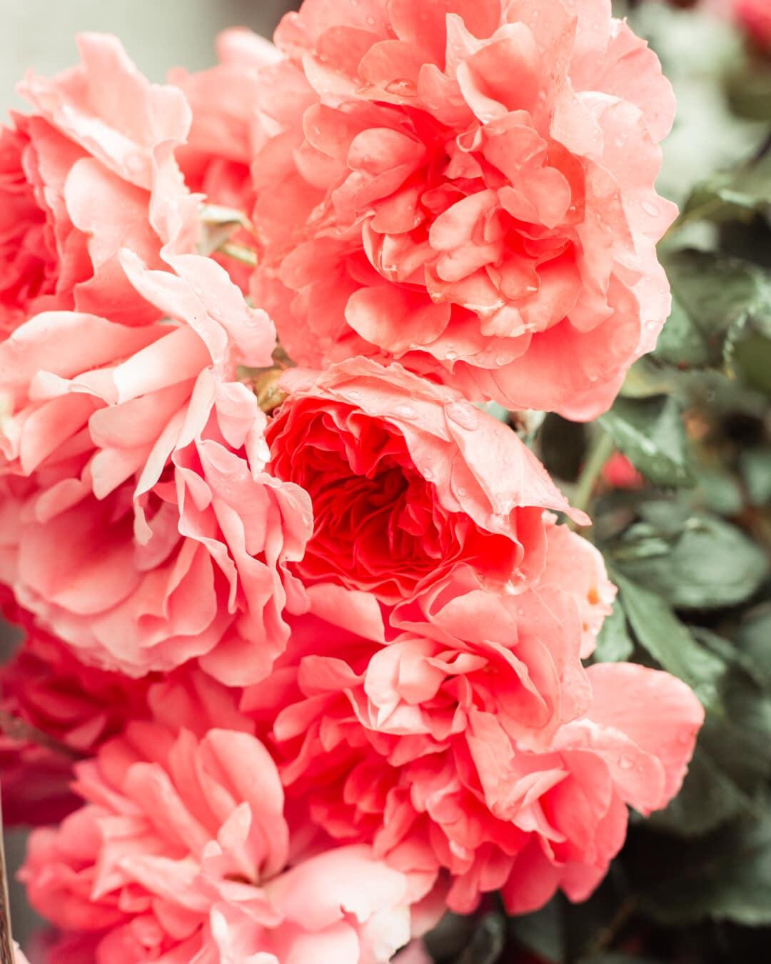roses, red, bright, petals, dew, close-up, raindrop, petal, nature, romance