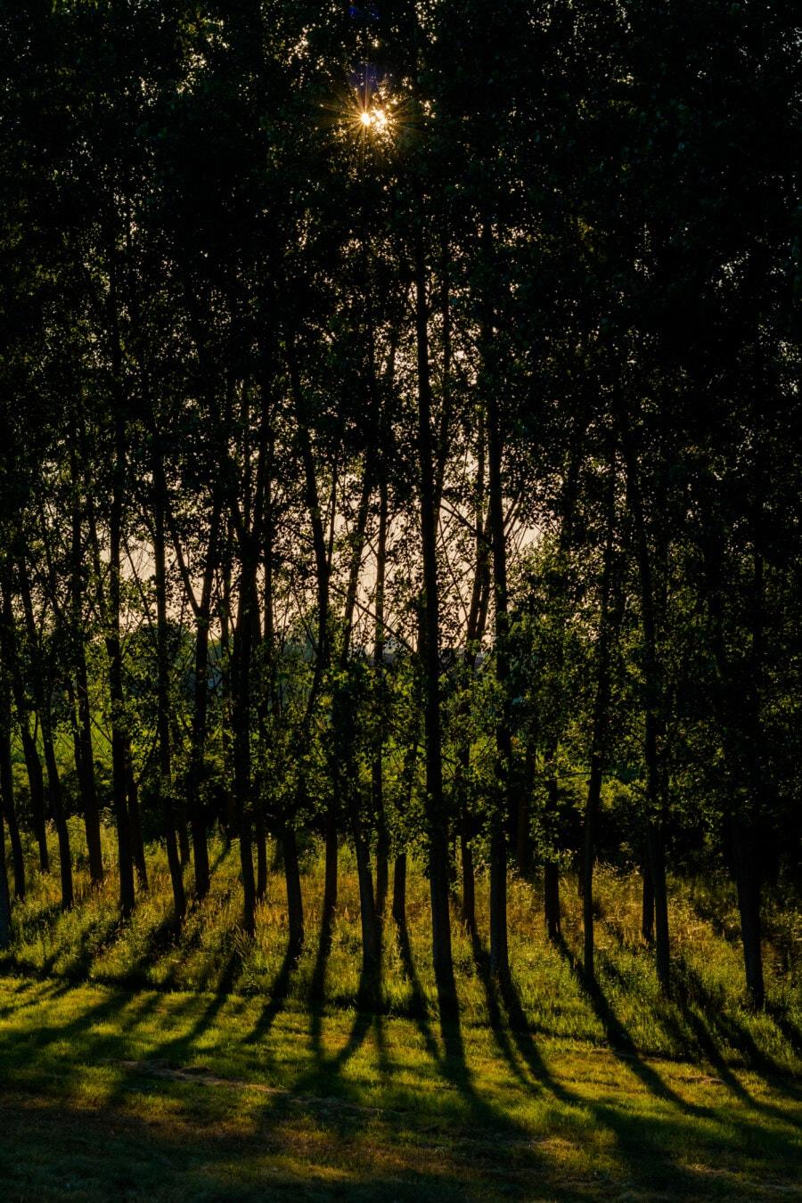 rayons de soleil, rétro-éclairé, ombre, forêt, arbres, aube, paysage, les bois, arbre, bois