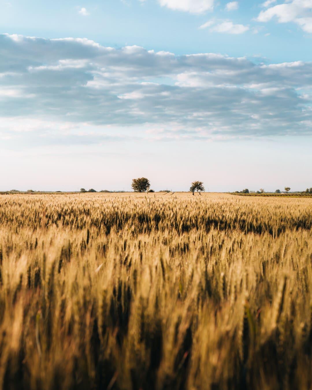Stamm, Feld, Gerste, Sommer, Tag, hell, Getreide, des ländlichen Raums, Ernte, Landwirtschaft
