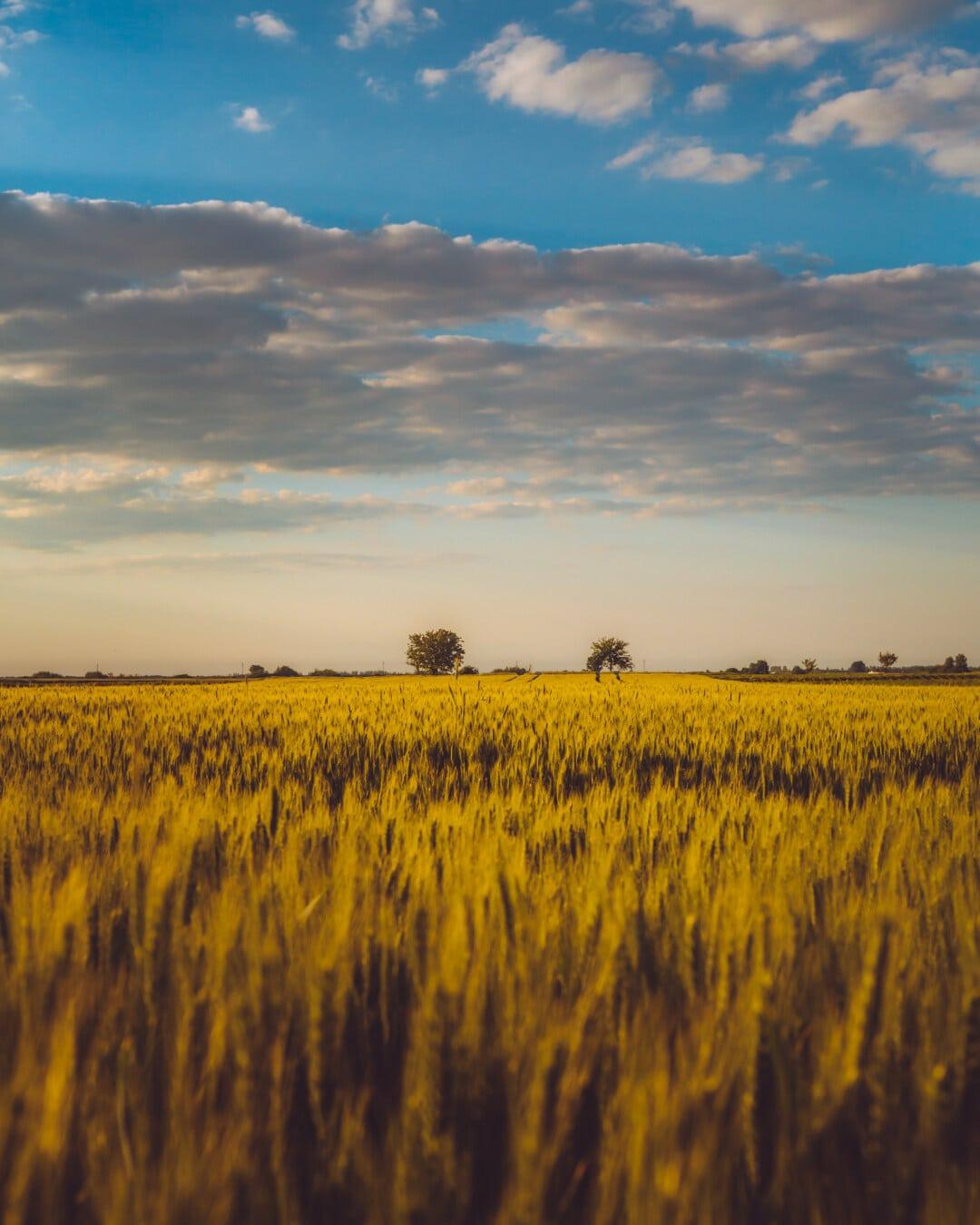 ensoleillée, champ de blé, l'été, idyllique, brillant, Agriculture, coucher de soleil, domaine, aube, paysage