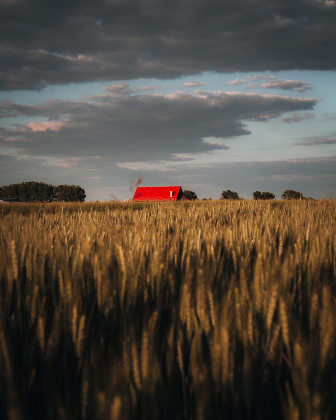 agriculture, field, landscape, nature, idyllic, farmland, farm, farmhouse, wheatfield, wheat
