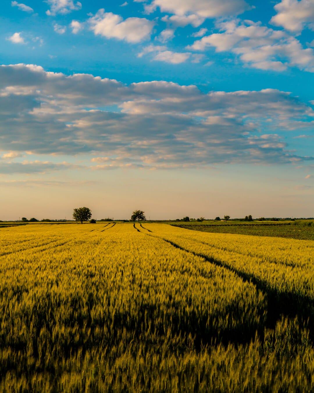 domaine, agricole, orge, ensoleillée, journée, rural, paysage, blé, Agriculture, coucher de soleil