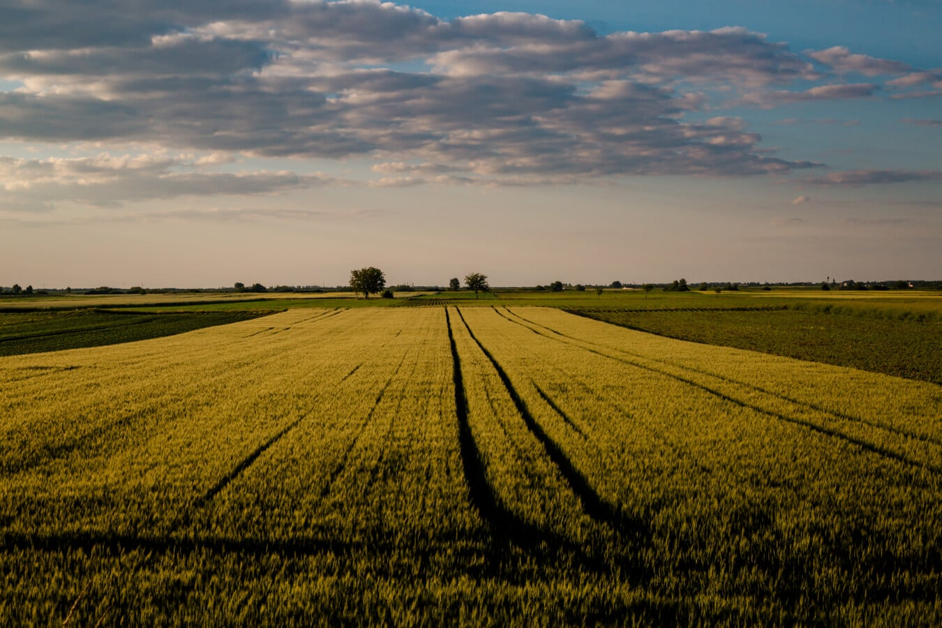 calm, atmosphere, field, barley, agriculture, dusk, meadow, farm, sunset, wheat