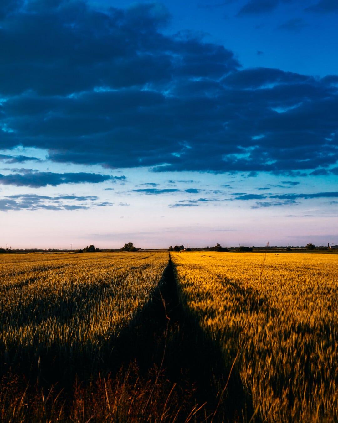 nuages, dramatique, bleu foncé, champ de blé, l'été, Agriculture, paysage, campagne, blé, domaine