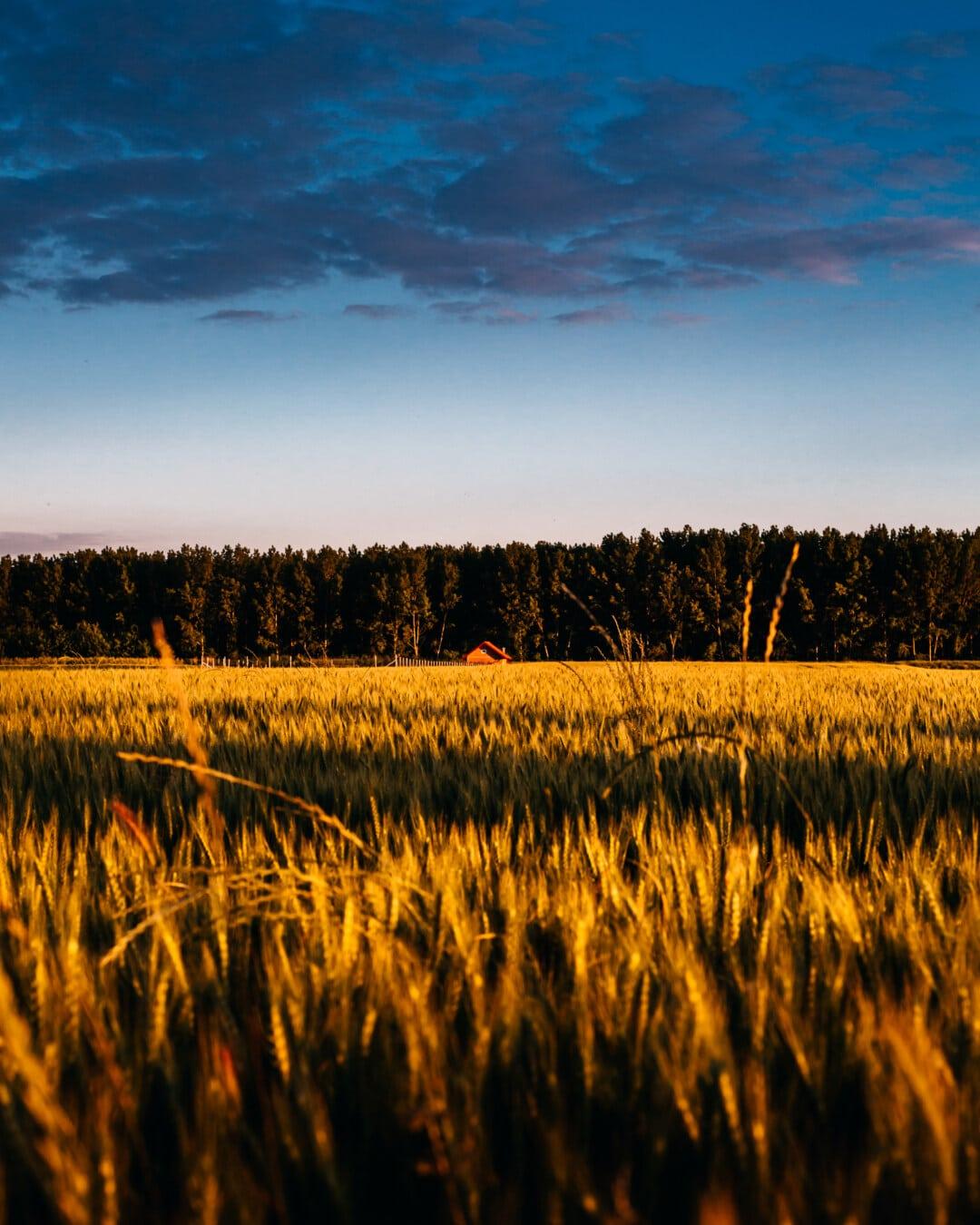 sunset, wheatfield, clouds, dramatic, wheat, rural, grass, cereal, summer, dawn