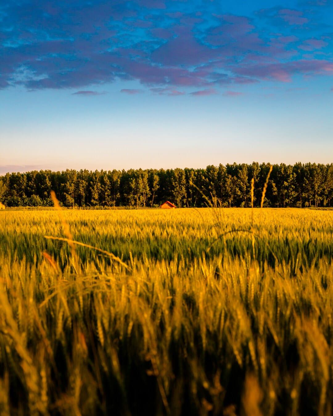 ferme, ferme, champ de blé, les terres agricoles, été, Agriculture, campagne, blé, domaine, paysage