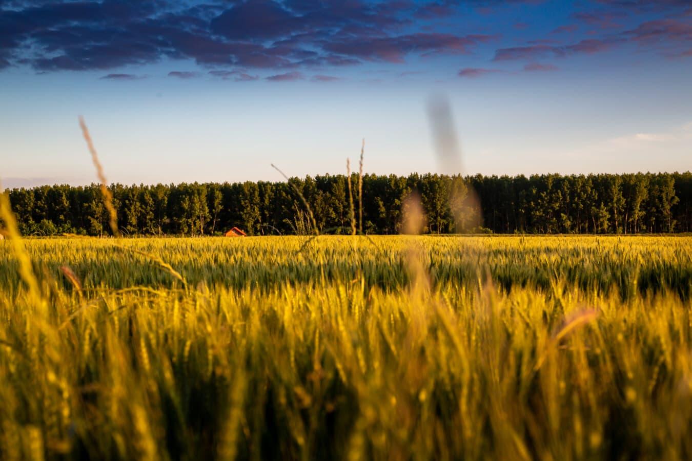 agriculture, field, wheatfield, dawn, clouds, dramatic, blue sky, landscape, farm, rural
