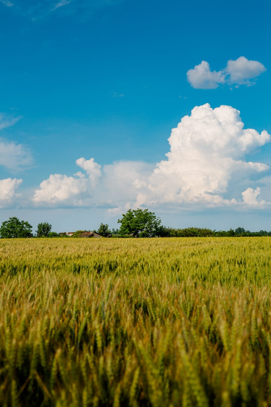 wheatfield, spring time, wheat, grass, rural, cereal, field, meadow, agriculture, landscape