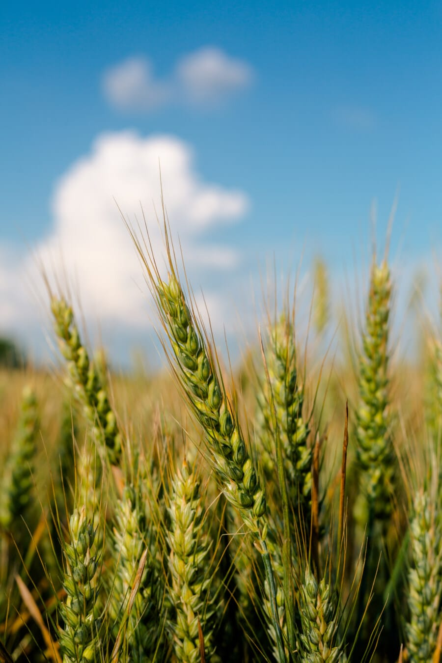 green, wheat, wheatfield, seed, close-up, grain, stem, cereal, field, summer