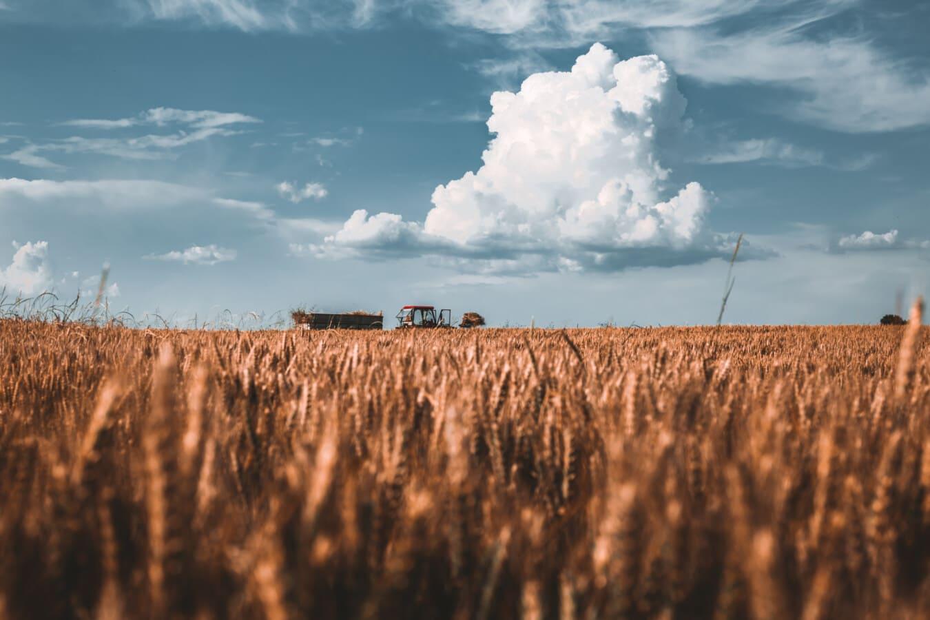 champ de blé, blé, l'été, harvest, tracteur, atmosphère, paysage, céréale, domaine, rural