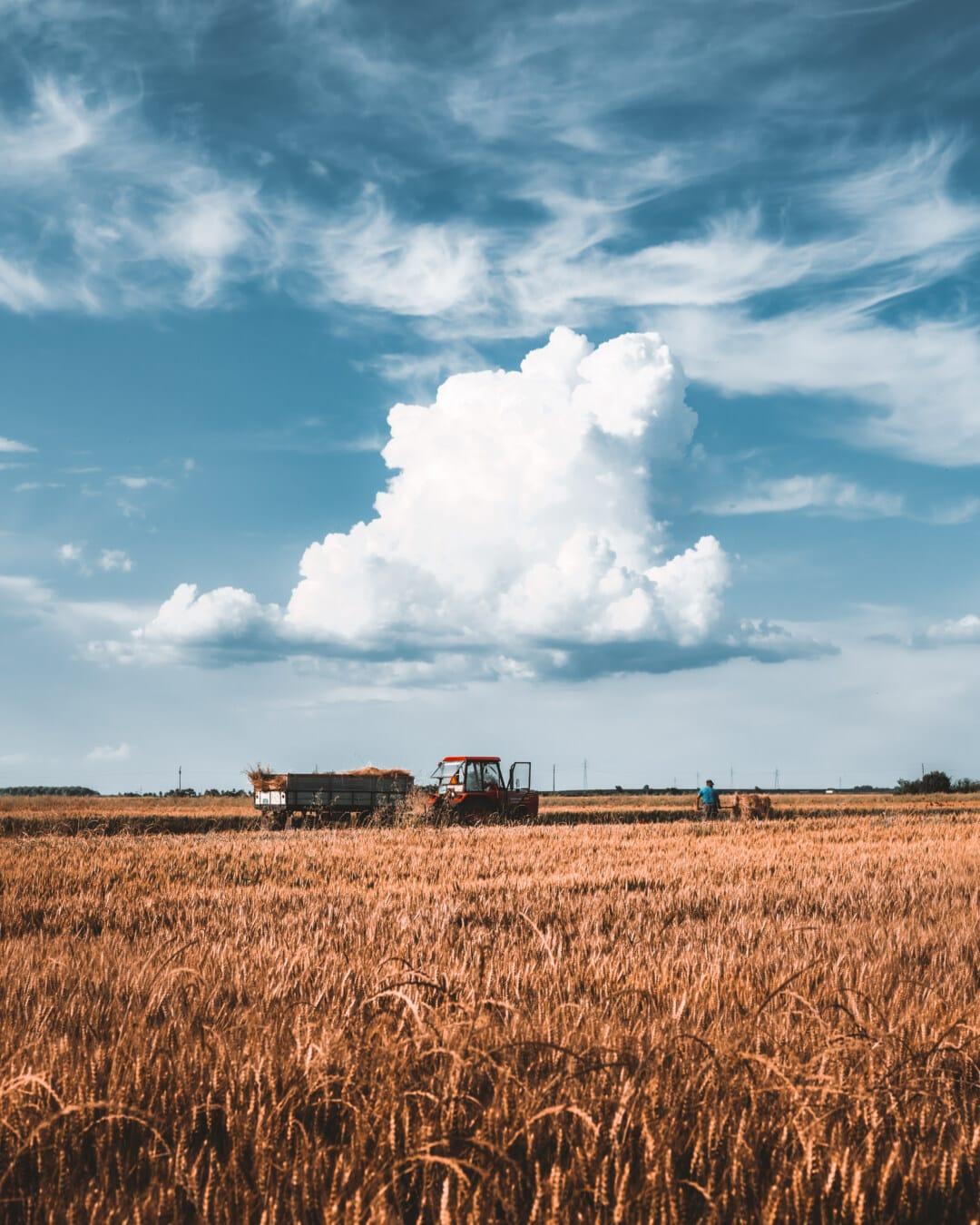 Weizenfeld, Harvest, Weizen, Harvestman, Manuell, Produktion, landwirtschaftlich, Getreide, Stroh, des ländlichen Raums