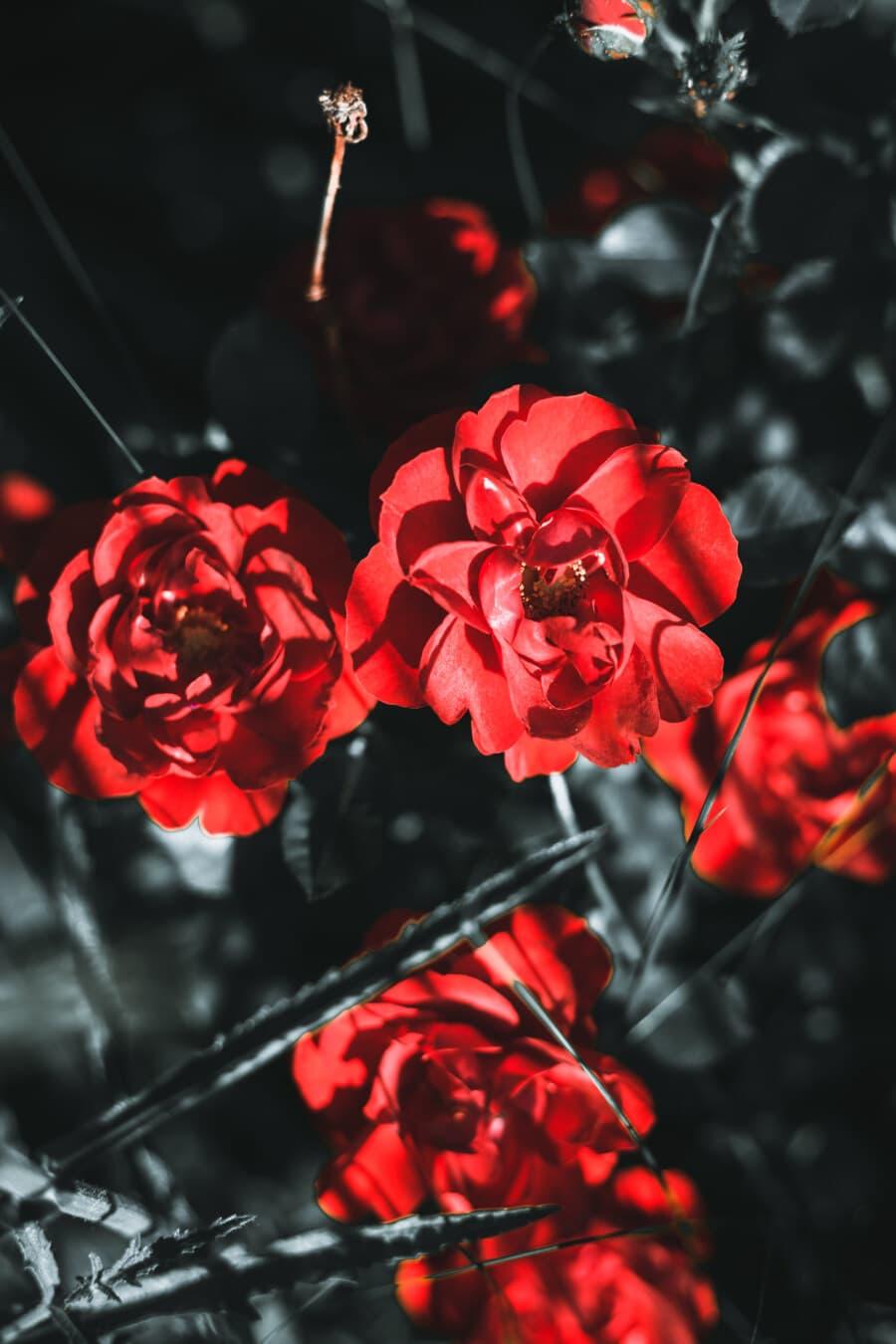 jardin fleuri, fleurs, rouge foncé, branches, buisson, arbuste, plante, pétale, fleur, feuille