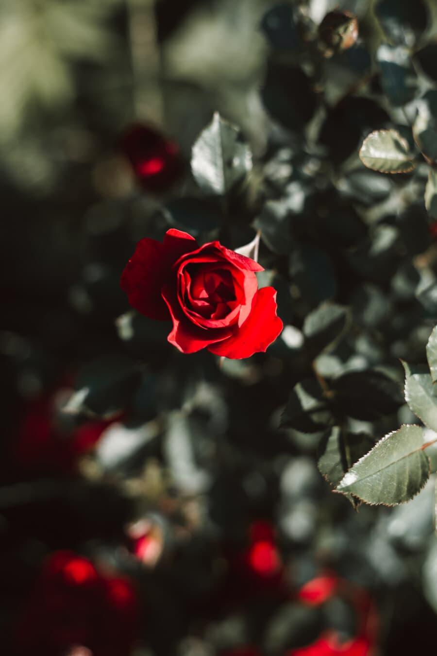 Blütenblatt, stieg, Strauch, Blatt, Rosen, Knospe, Anlage, Blume, Natur, Flora