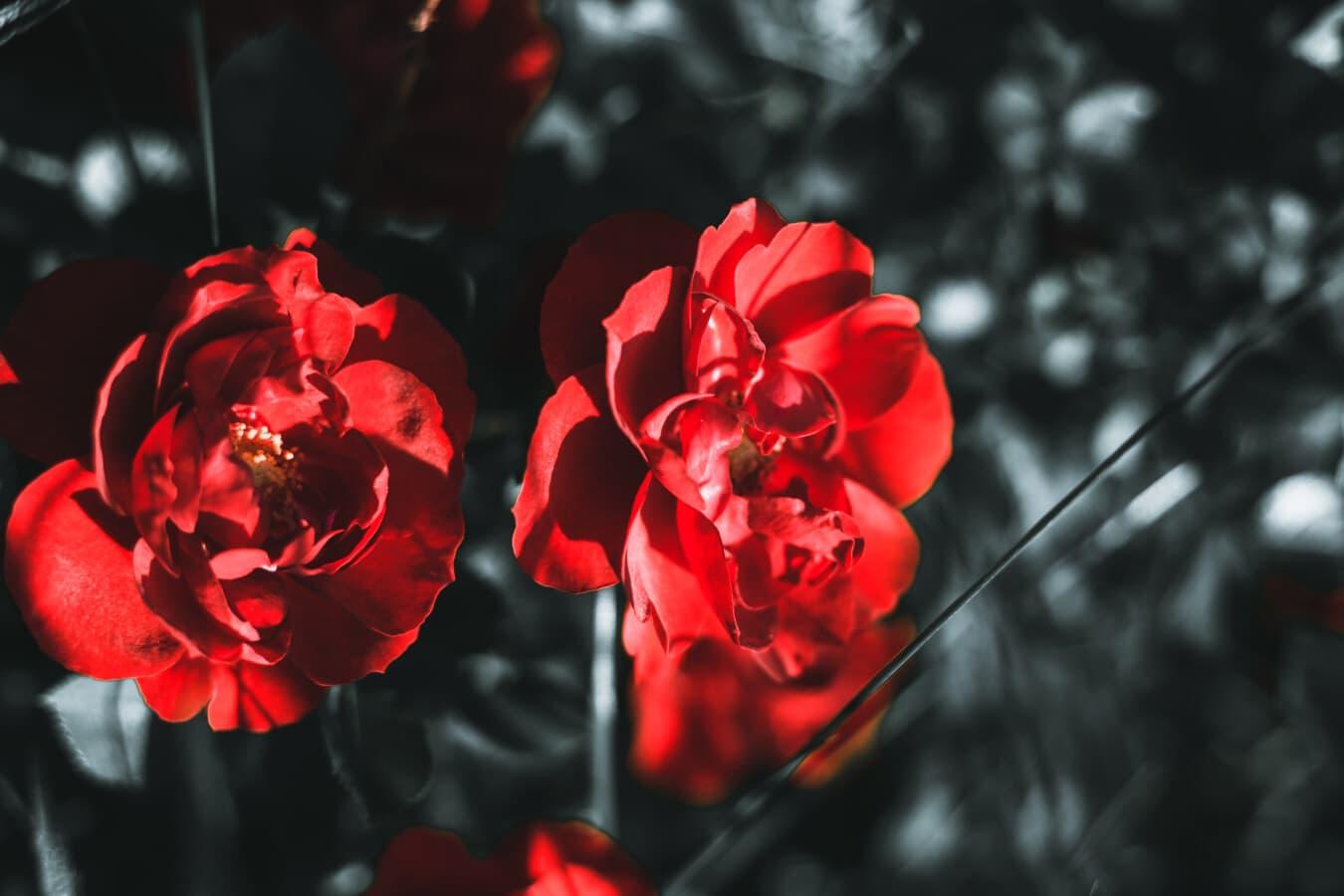 rötlich, schöne Blumen, Blütenblätter, dunkelrot, Schatten, Zweig, Anlage, Blume, Strauch, Blütenblatt