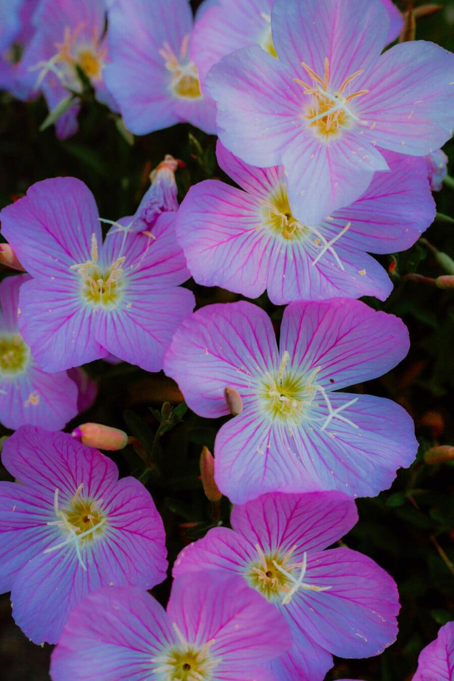 petals, pollen, close-up, pistil, bright, pinkish, flowers, flower, pink, herb