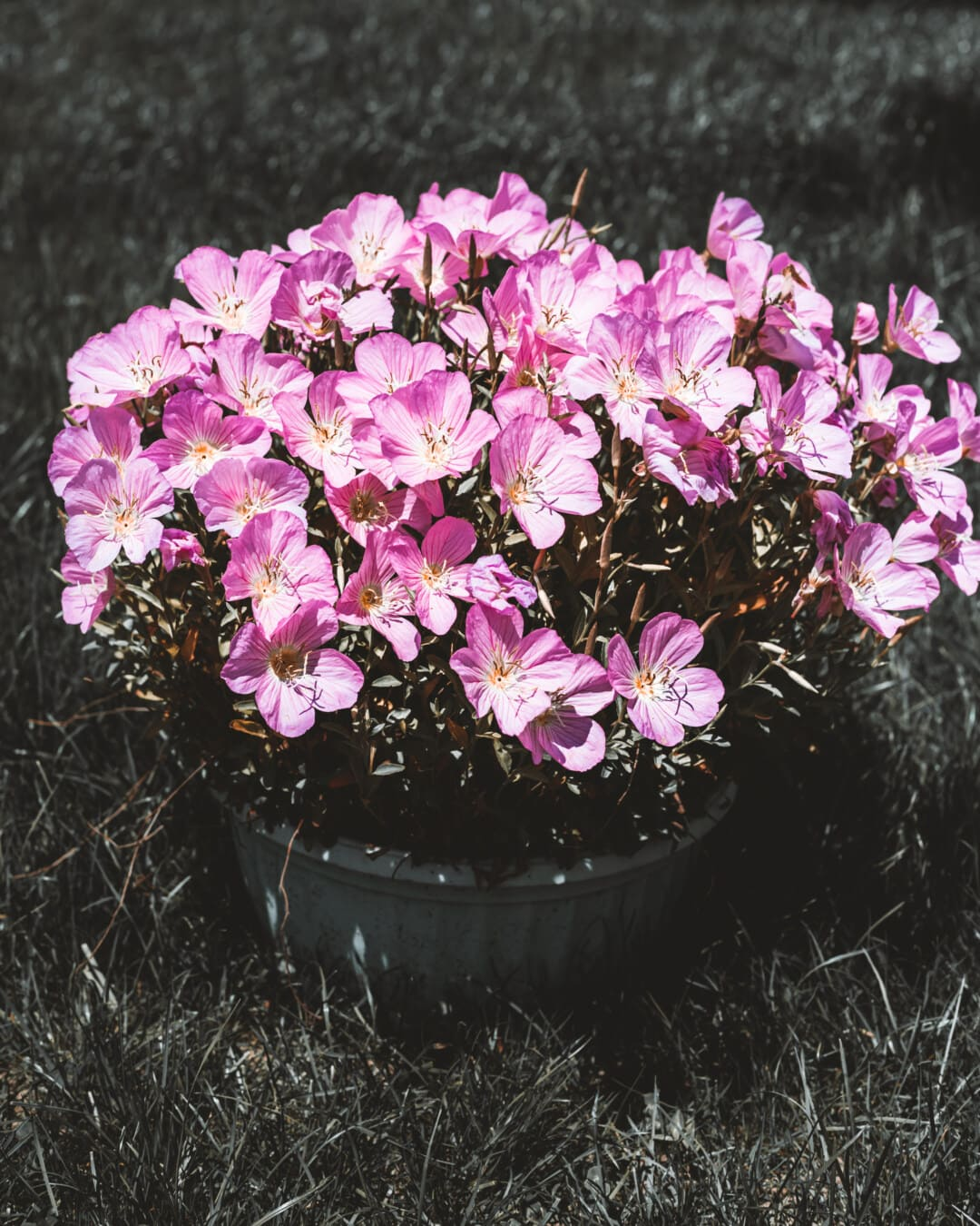hell, Blumen, Rosa, Blumentopf, Rosa, Natur, blühen, Kraut, Anlage, Flora