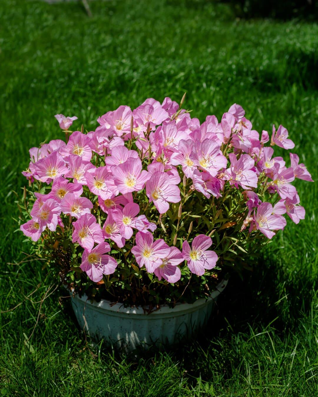 flower garden, horticulture, flowerpot, beautiful flowers, petals, pinkish, lawn, grass, garden, pink