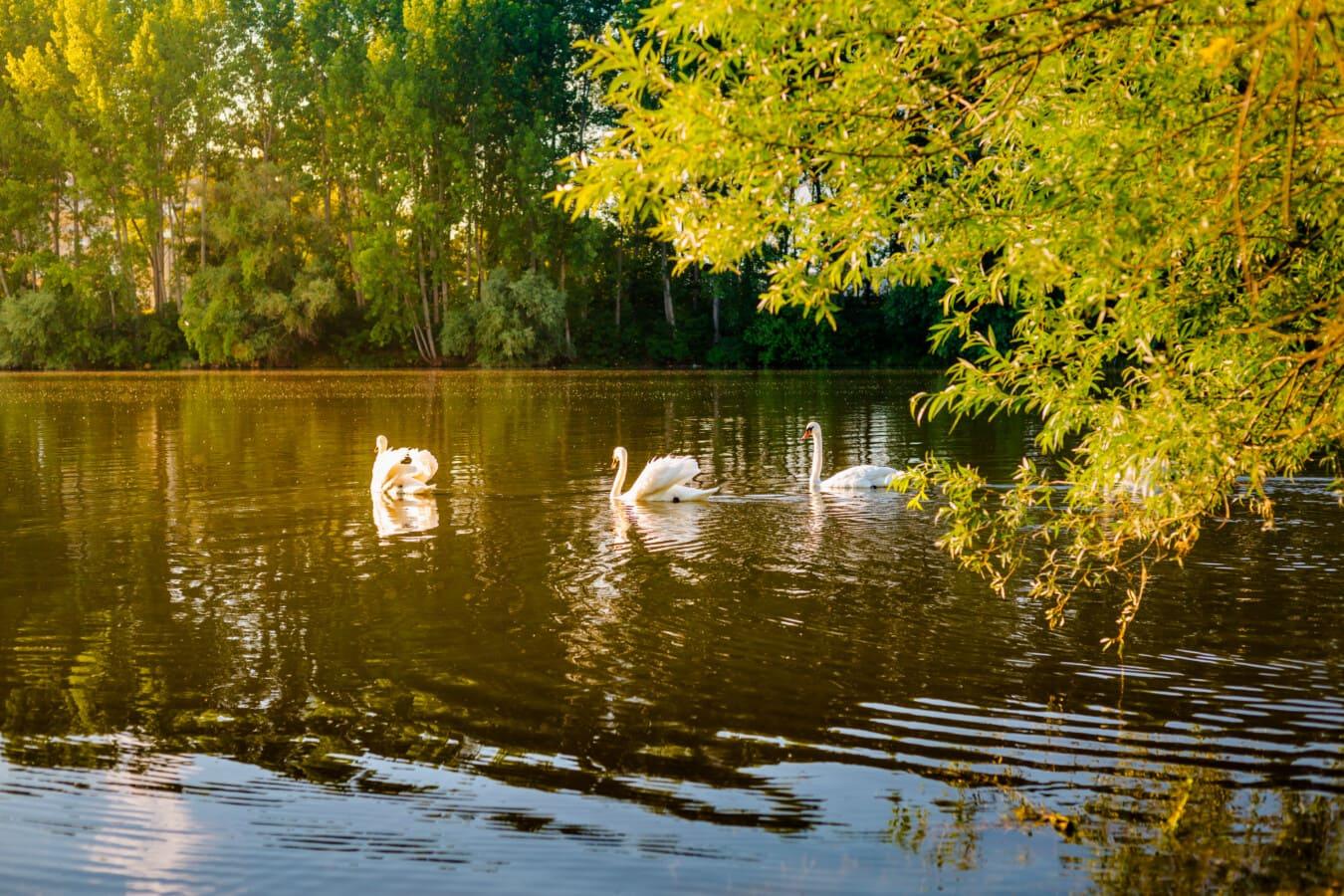 Sommersaison, am See, Sonnenschein, Schwimmen, Schwan, Vögel, Fluss, Wasser, Struktur, Wald