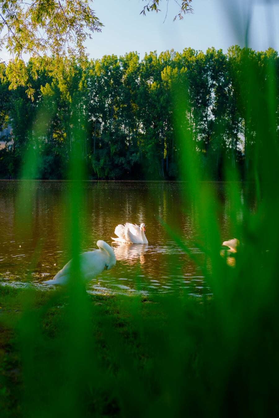Wasserpflanze, Schwan, aquatische Vogel, grasbewachsenen, Küste, Herde, Gruppe, Vögel, Natur, Wasser