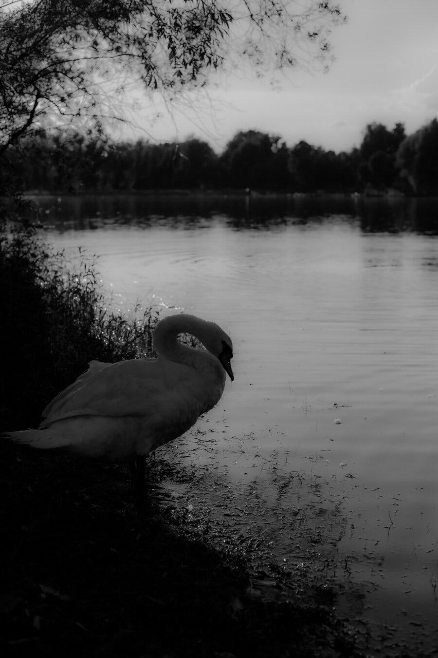 beautiful, swan, black and white, monochrome, neck, grace, pool, bird, lake, reflection