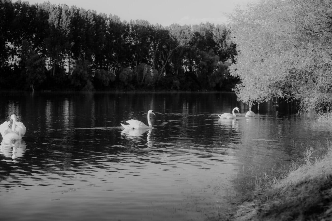 oiseaux aquatique, troupeau, oiseau échassier, cygne, noir et blanc, monochrome, paysage, calme, placide, eau
