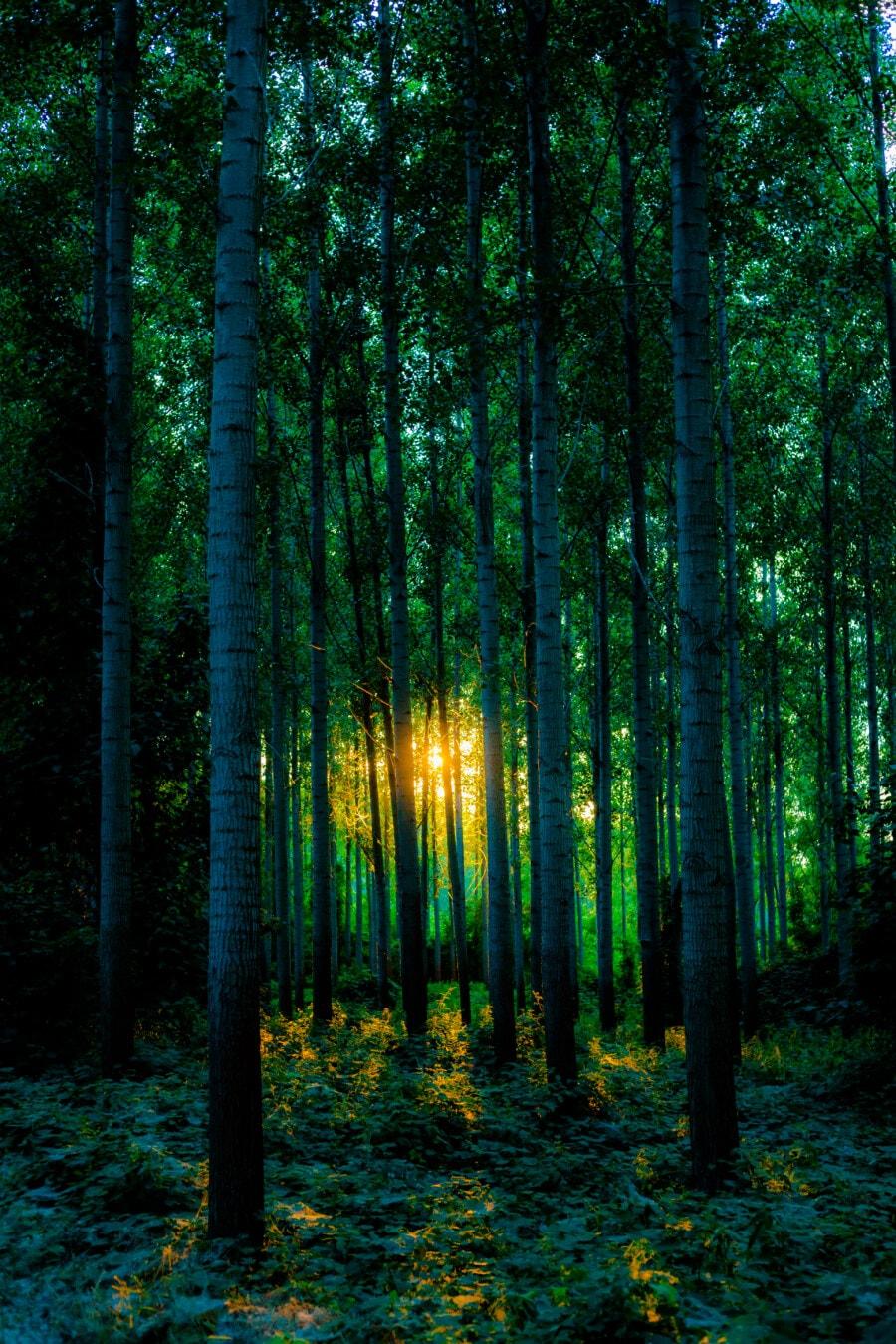 morning glory, forest, poplar, greenery, trees, sunrise, sunrays, tree, wood, landscape