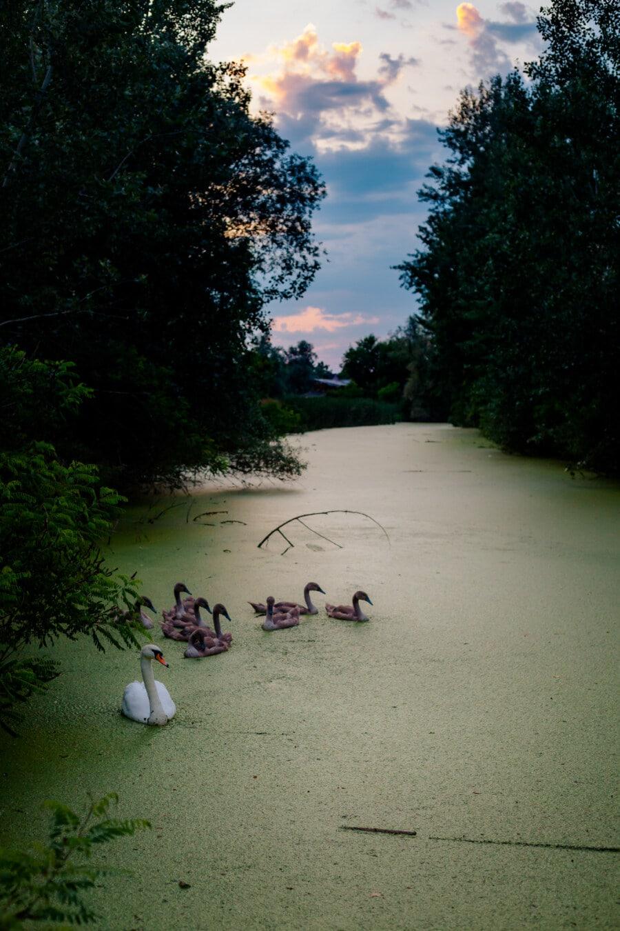 bird family, birds, flock, swan, swimmer, youngster, natural habitat, marshland, ecosystem, aquatic plant