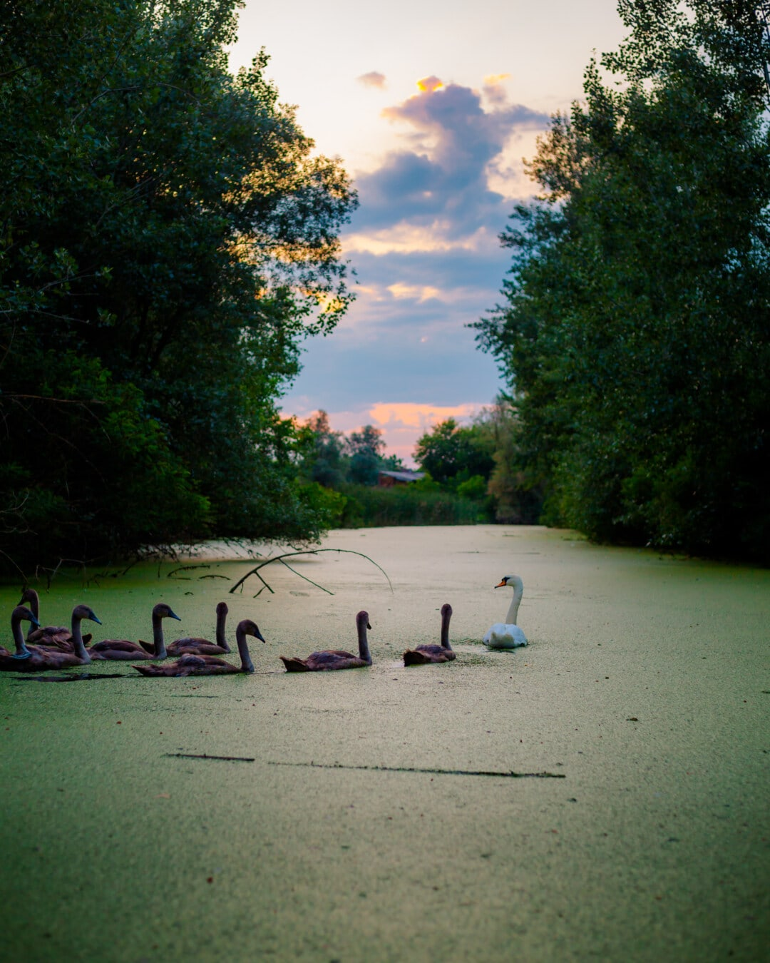 marshlands, swamp, dusk, bird family, swan, young, birds, tree, park, lake