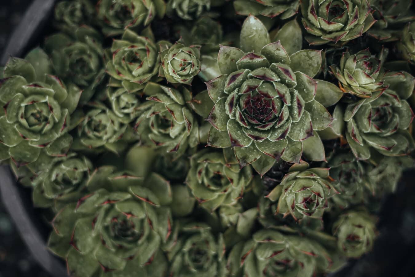 succulente, Cactus, da vicino, foglia, verde scuro, vaso di fiori, cluster, Flora, natura, fiore