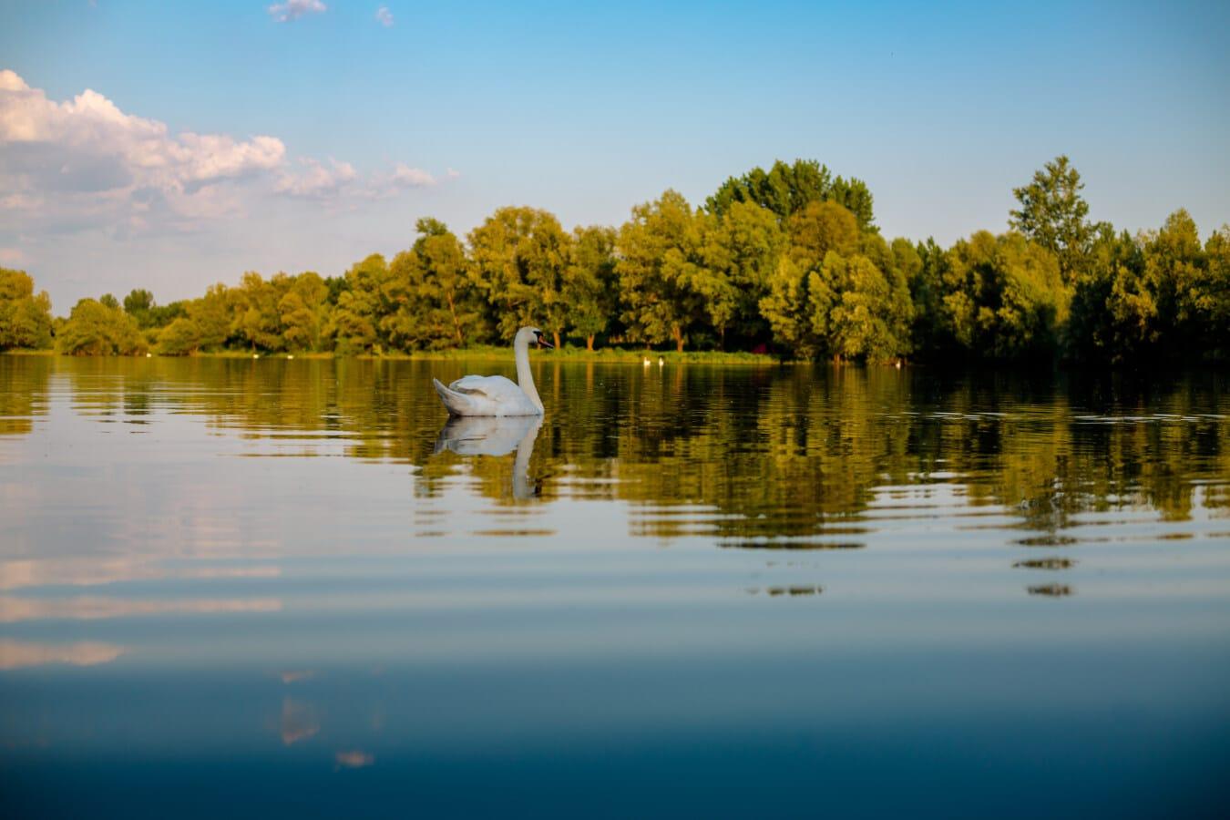 sjöfåglar, svan, vattenlevande fågel, landskap, reflektion, sjön, vatten, naturen, gryning, solnedgång