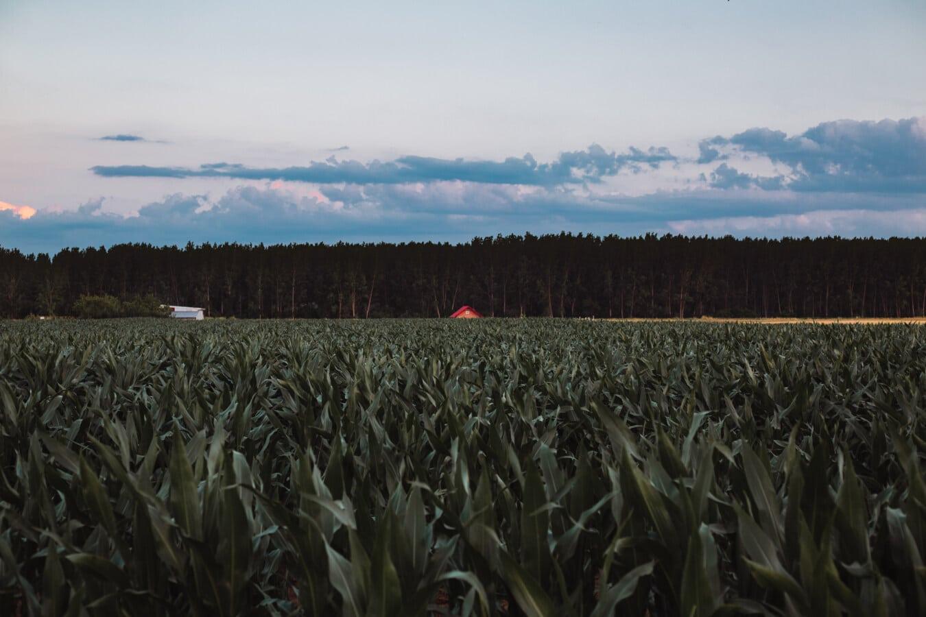 cornfield, Ngô, sản xuất, nông nghiệp, nông nghiệp, Trang trại, Trang trại, đất nông nghiệp, nông thôn, cảnh quan