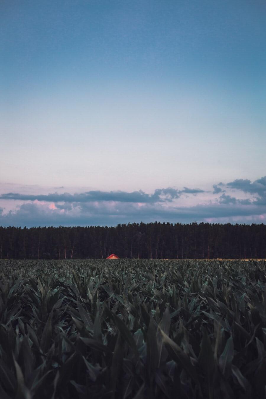 Kornfeld, Mais, Landwirtschaft, Ackerland, Bauernhof, Landwirtschaft, Dämmerung, Natur, Feld, des ländlichen Raums